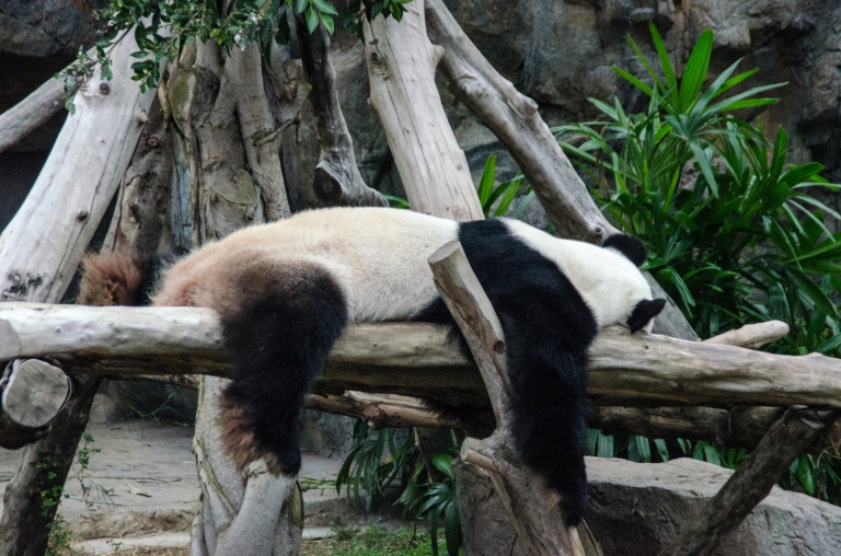 The lazy panda just lounging on his bed